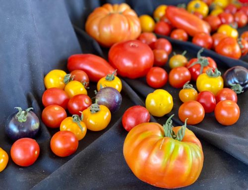 Fiesta del tomate se reinventa y lleva el tradicional tomaticán a miles de hogares limachinos.